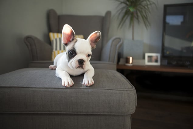 Darwin the Frenchie