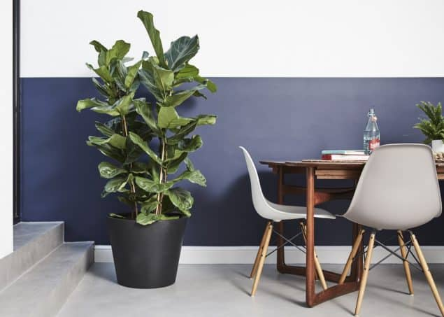 Big Fidel_Ficus Lyrata_£170 from Patch Plants