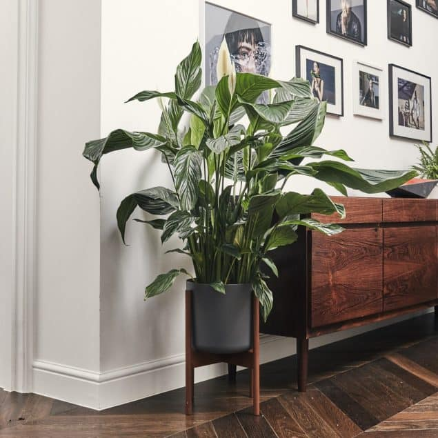 Tall Pippa_Peace Lily_£55 from Patch Plants