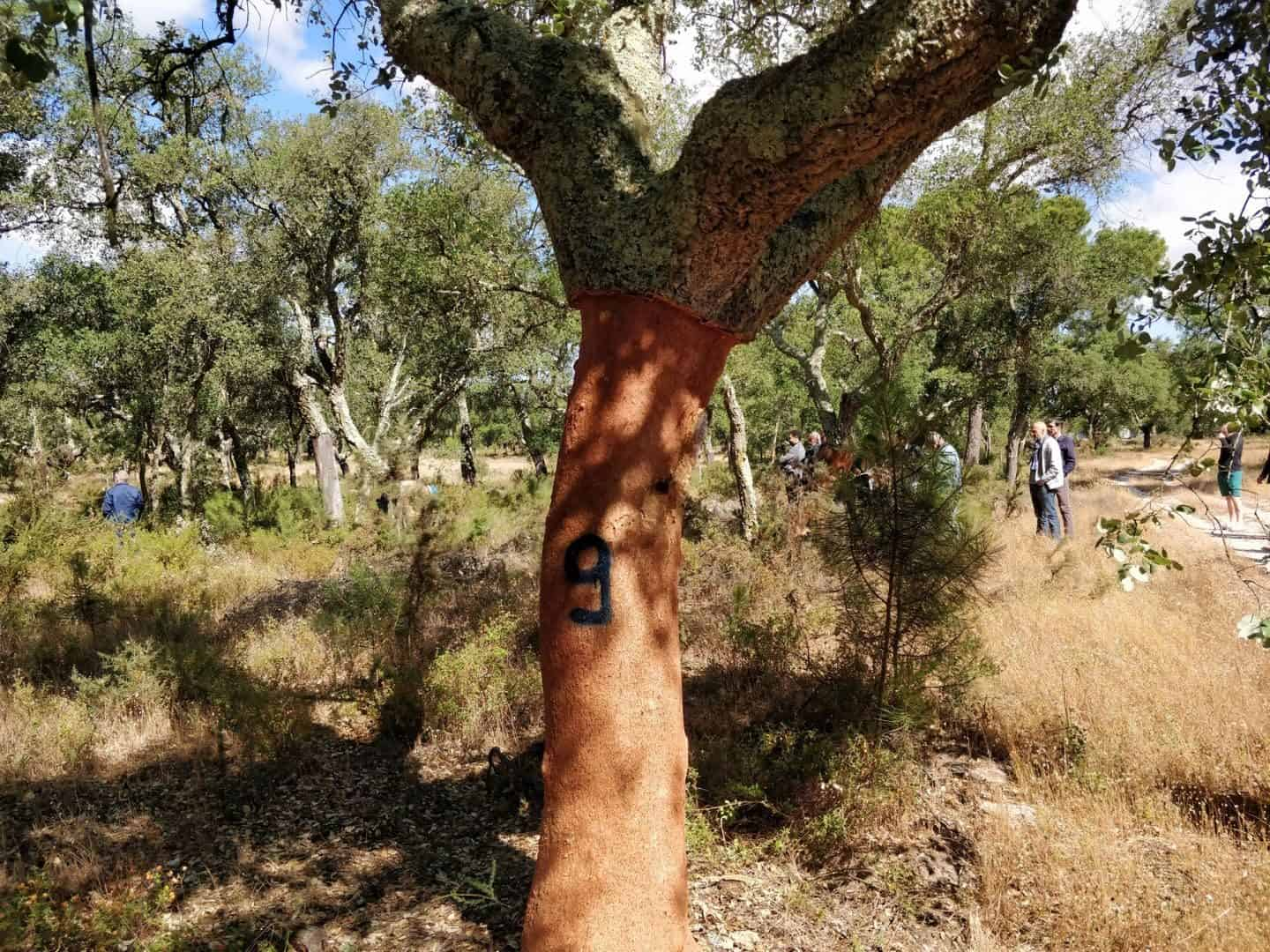 Cork production starts with the harvest in the cork oak forest in Portugal