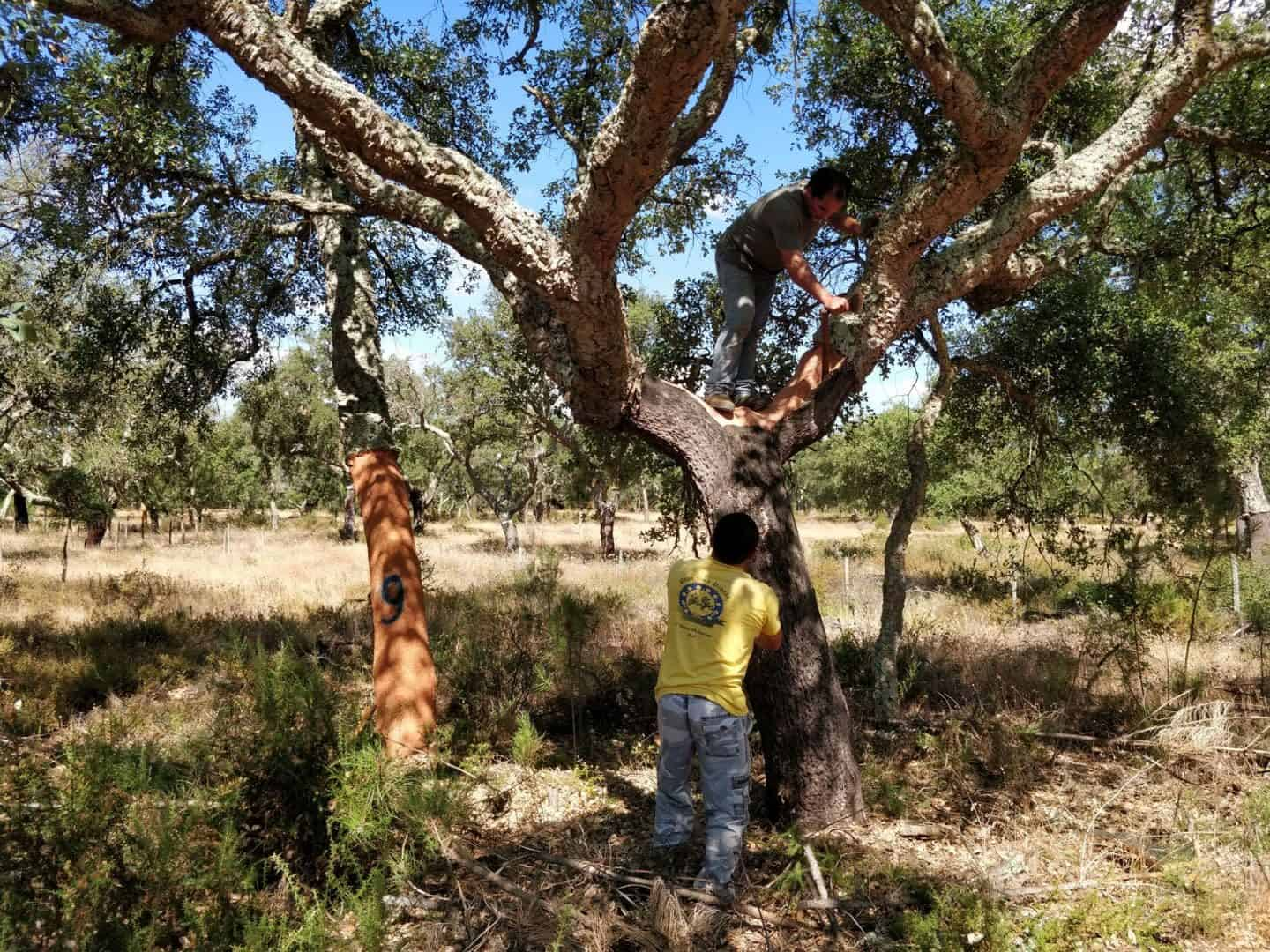 Cork production starts with the cork that is harvested in the cork oak forest of Portugal